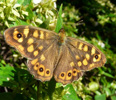 Una bruna boscana, papallona habitual dels parcs i jardins de la nostra ciutat.