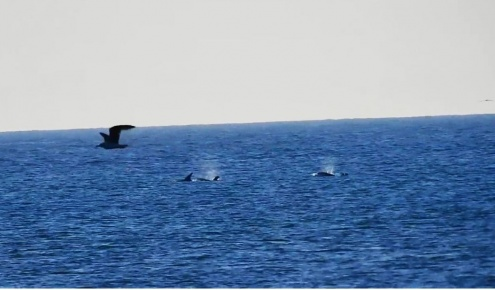 Dofins molars el Prat Delta del Llobrejat Platja Ca l'Arana