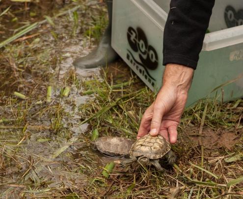 tortugues ibèriques d'aigua