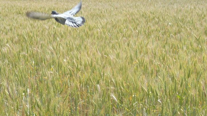 Un colom sobrevola un camp de cereal del Parc Agrari.