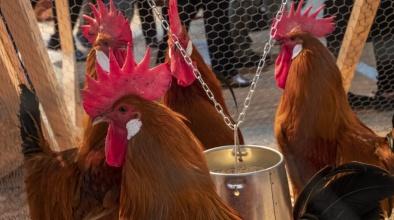 Pollastre Pota Blava a la Fira Avícola