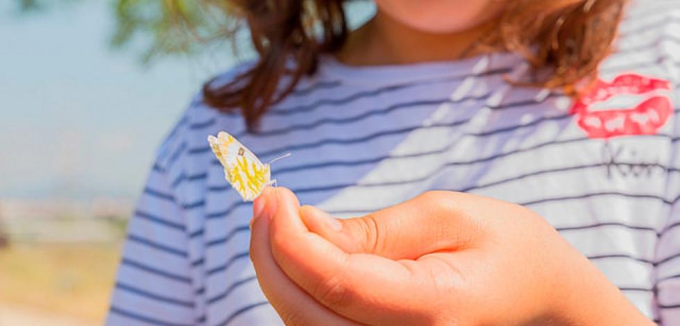Una papallona safranera de l'alfals.
